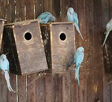Indian Ringneck Parakeets at World of Birds South Africa by Ren Provo