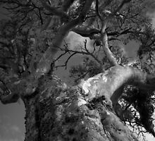 Scary Tree- Golding Vineyard by Ben Loveday