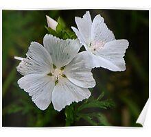 White Swamp Rose Mallow Poster