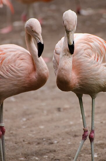 flamingo`s by Nicole W.
