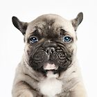 French Bulldog Year by Andrew Bret Wallis