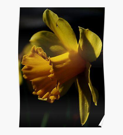 Yellow Daffodil Poster