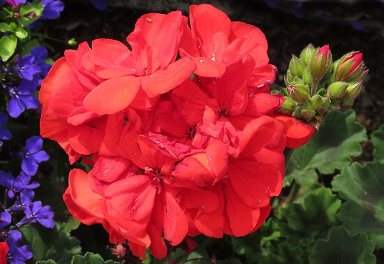 Vibrant Red Geraniums and Buds by BlueMoonRose