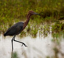 Reddish Egret (Egretta rufescens) by Paul Wolf