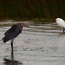 Reddish and Snowy Egrets, Matagorda Bay, Texas by Paul Wolf