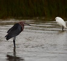Reddish and Snowy Egrets, Matagorda Bay, Texas by Paul Wolf