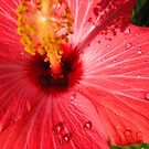 Hibiscus 1 by Tim Miklos