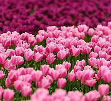 Pink Beauties by Dan Mihai