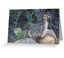 Baby Ostrich at Aquila in South Africa Greeting Card