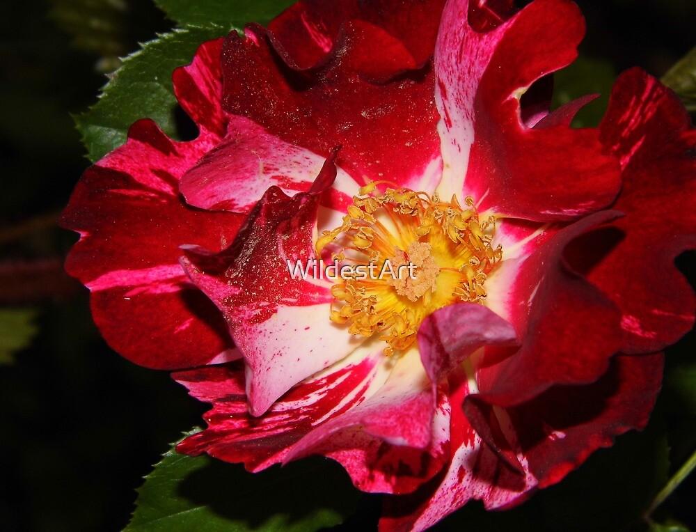 Dark Rose by WildestArt