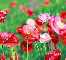 Poppy Paradise by kutekatgurl