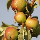 Crab Apples by Kathi Arnell