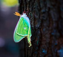 Lunar Moth on a Pine Tree  by Nazareth