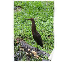 Rufescent Tiger Heron Poster