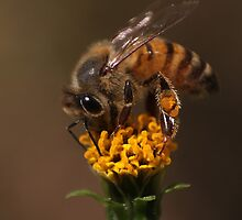 Bee buffet by Graeme Mockler