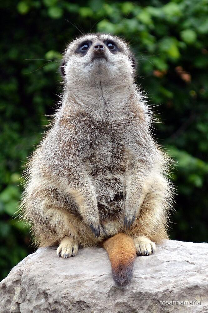 Meerkat Pose by rosannamaria