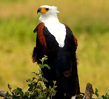 African Fishing Eagle - Haliaeetus vocifer - Central Serengeti Tanzania by john  Lenagan