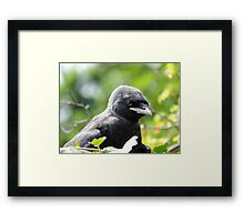 Young Jackdaw Framed Print