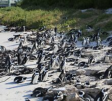 Penguin Colony in False Bay at the Boulders by Ren Provo