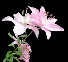Pink Lilies by Annmarie *