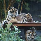 Tigers at Taronga Zoo in Sydney Australia by Ren Provo