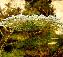 Queen Anne's Lace Wildflower - Daucus carota - Wild Carrot by MotherNature2
