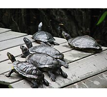 Turtles in the sun. Photographic Print