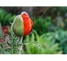 Unopened Orange Poppy Ready to Pop Photographic Print
