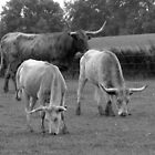 Wisconsin farming with Texas Longhorns by sevenfeathers
