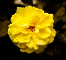 Yellow Rose by mlphoto