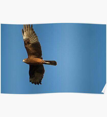 Sunset Harrier Poster