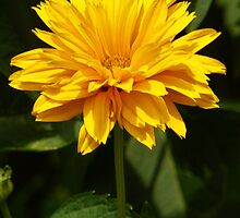 Lance leaf Coreopsis by PineSinger