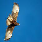 Evening Harrier by byronbackyard