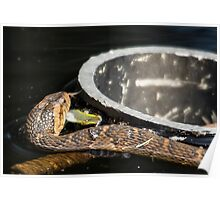 Banded Water Snake On The Hunt Poster
