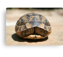 Land Turtle Hiding In Its Shell  Canvas Print