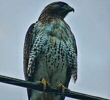 Hawk Eye by gloriajean