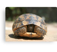Young Spur Thighed Tortoise Looking Out of Its Shell Metal Print
