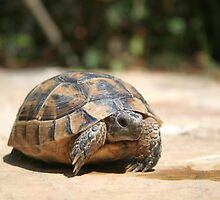 Young Tortoise Emerging From Its Shell by taiche