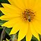 HONEY BEES On YELLOW Flowers