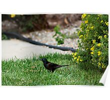 Grackle looking for a Snack Poster