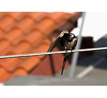 swallows Photographic Print
