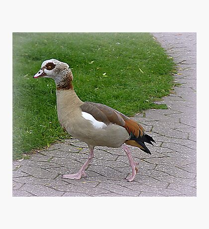 Egyptian Goose. Photographic Print