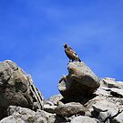 Hawk on a rock,outside Reno Nevada USA by Anthony & Nancy  Leake