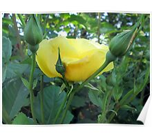 one of many lovely roses Poster