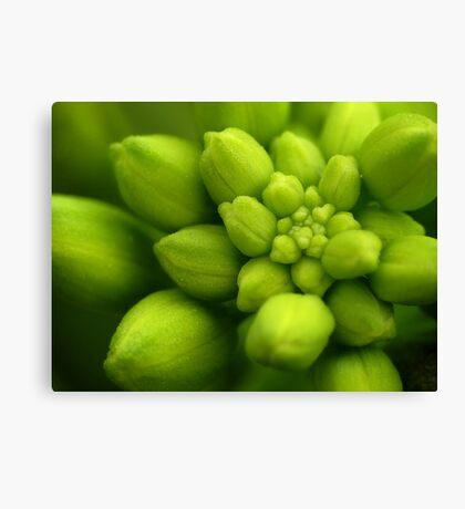 Wildflowers 2 - Hoary Alyssum Buds Canvas Print