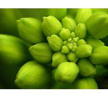 Wildflowers 2 - Hoary Alyssum Buds Photographic Print