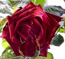 Ena Harkness Rose by Jacqueline Longhurst