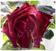 Ena Harkness Rose Poster