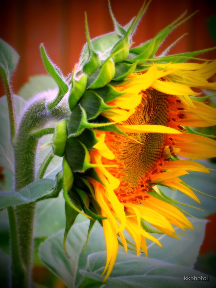Colorful Giant Sunflower by kkphoto1