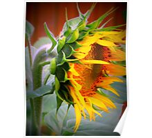 Colorful Giant Sunflower Poster